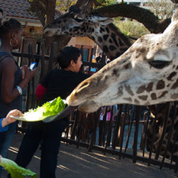 Giraffe_Feeding_Platform_Medium2